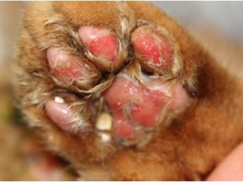 03-fcv-virulent-systemic-disease-paws-uwe-truyen