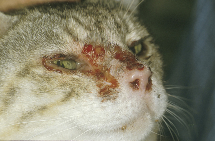 04-03-fcv-calici-virulent-systemic-disease-skin-lesions-tim-gruffydd-jones-1024x675