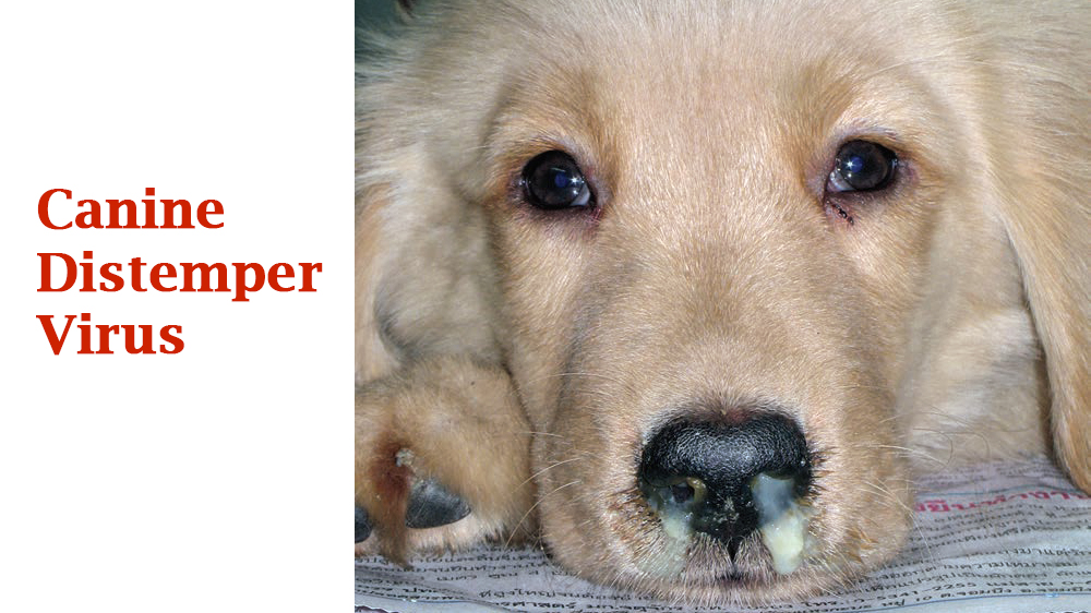 Canine Distemper Bệnh Viện Th 250 Y Petcare